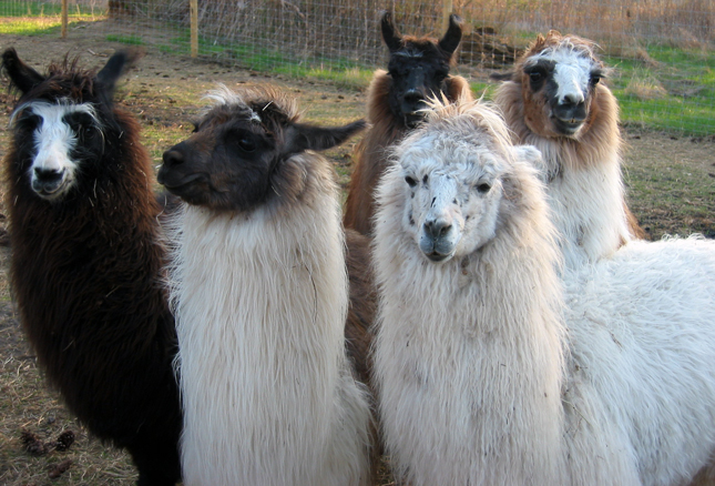 Group photo of 4-H llamas